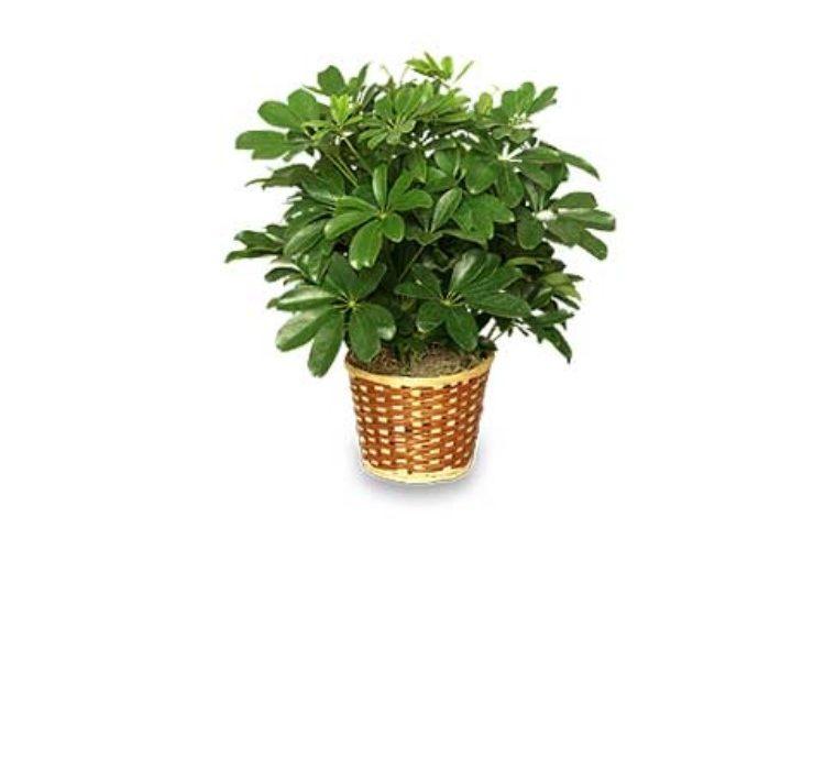 Dwarf shefflerea houseplant