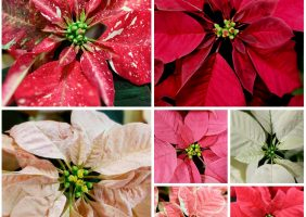 red, pink, spotted, white, peach, burgundy poinsettias