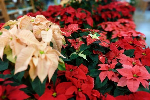 Red and peach poinsettias