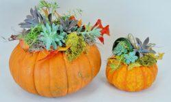 succulent fall pumpkin