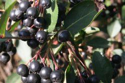 black fruit on Glossy black chokeberry