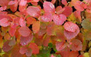 Birchleaf spirea autumn colors