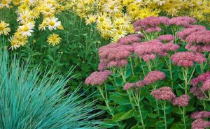 Sedum, mums, and grass in the fall.