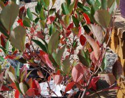 fall colors starting glossy black chokeberry