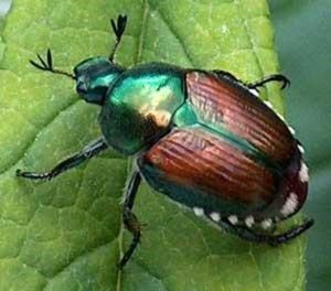 Japanese Beetle close up