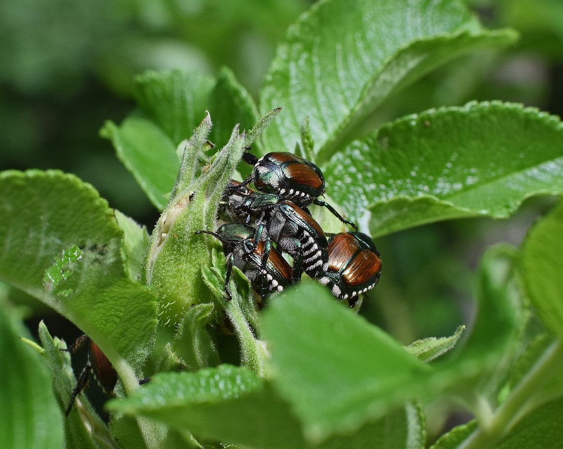Japanese Beetles on Rose Bush