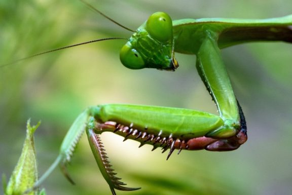 praying mantis looking at camera