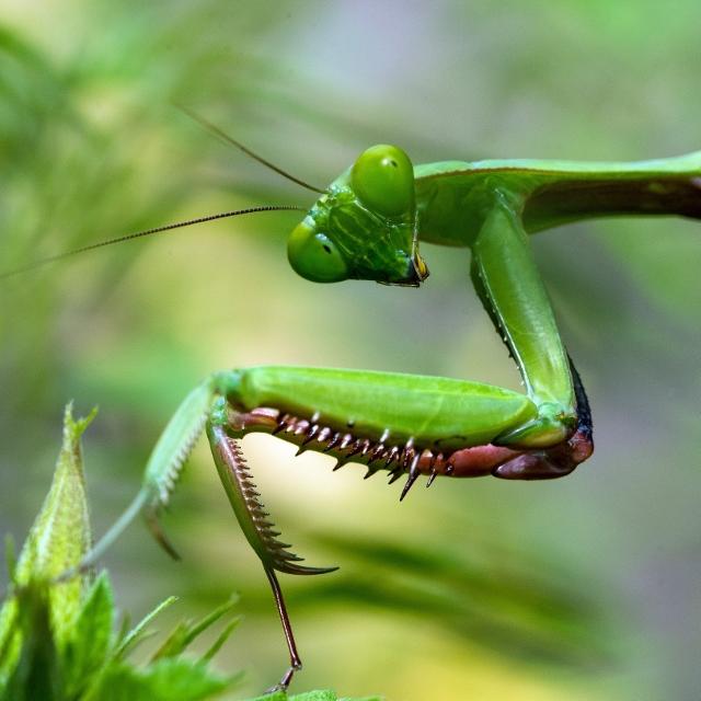 praying mantis looking at camera