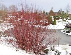 bailey red twigged dogwood in the winter