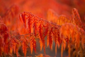Tiger eyes sumac in the fall