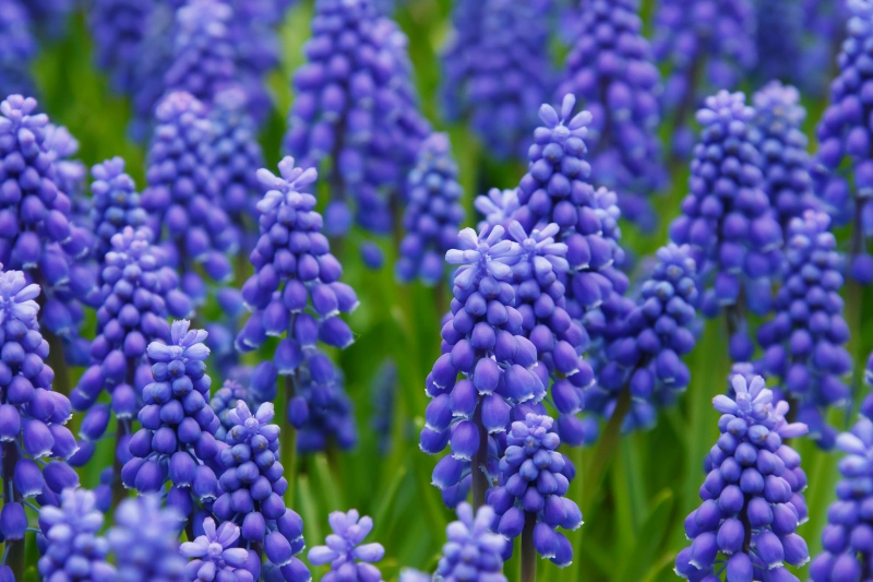 Grape Hyacinth in bloom