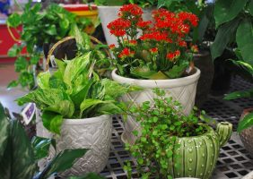 houseplants, kalanchoe