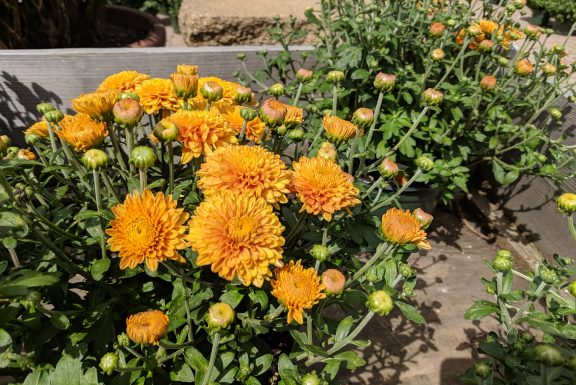 apricot orange colored blooms on the Zonta Minnesota Mum