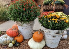 Mums in birch pots and pumpkins in front of house