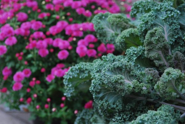purple mum and decorative kale pots