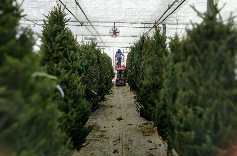 christmas trees being hung in drummers garden center greenhouse