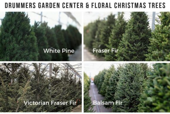 christmas trees at drummers, fraser, balsam, white pine, victorian