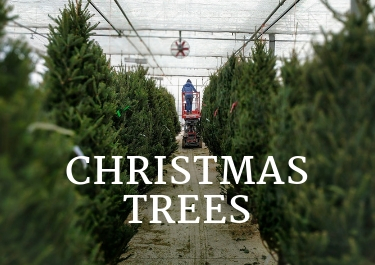 Christmas trees are in at Dummers