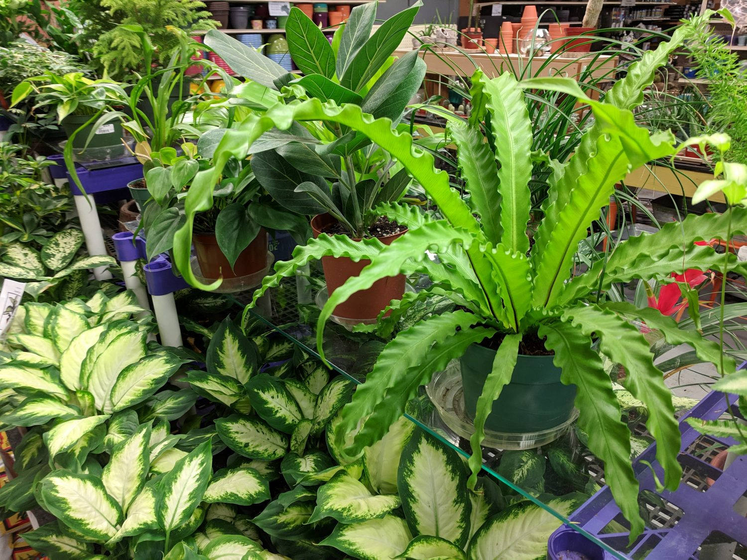 Our 6 inch pot houseplants are under twenty dollars
