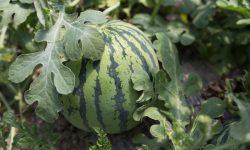 watermelon in vines in a garden