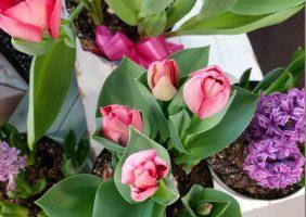 Blooming indoor bulbs