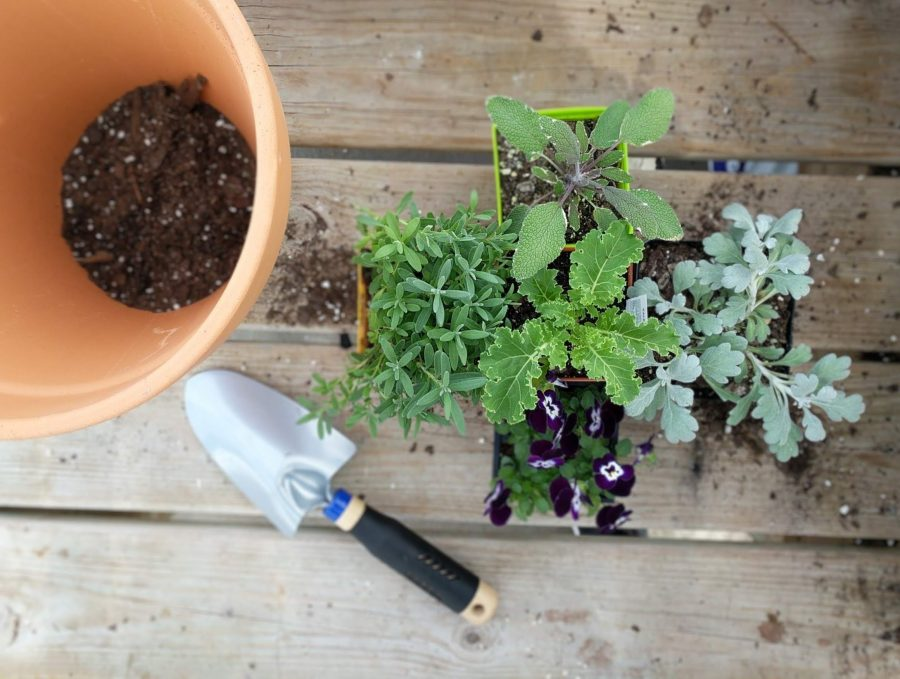 Kale, dusty miller, tricolor sage, lavender, and viola ready to be potted in terra cotta pot