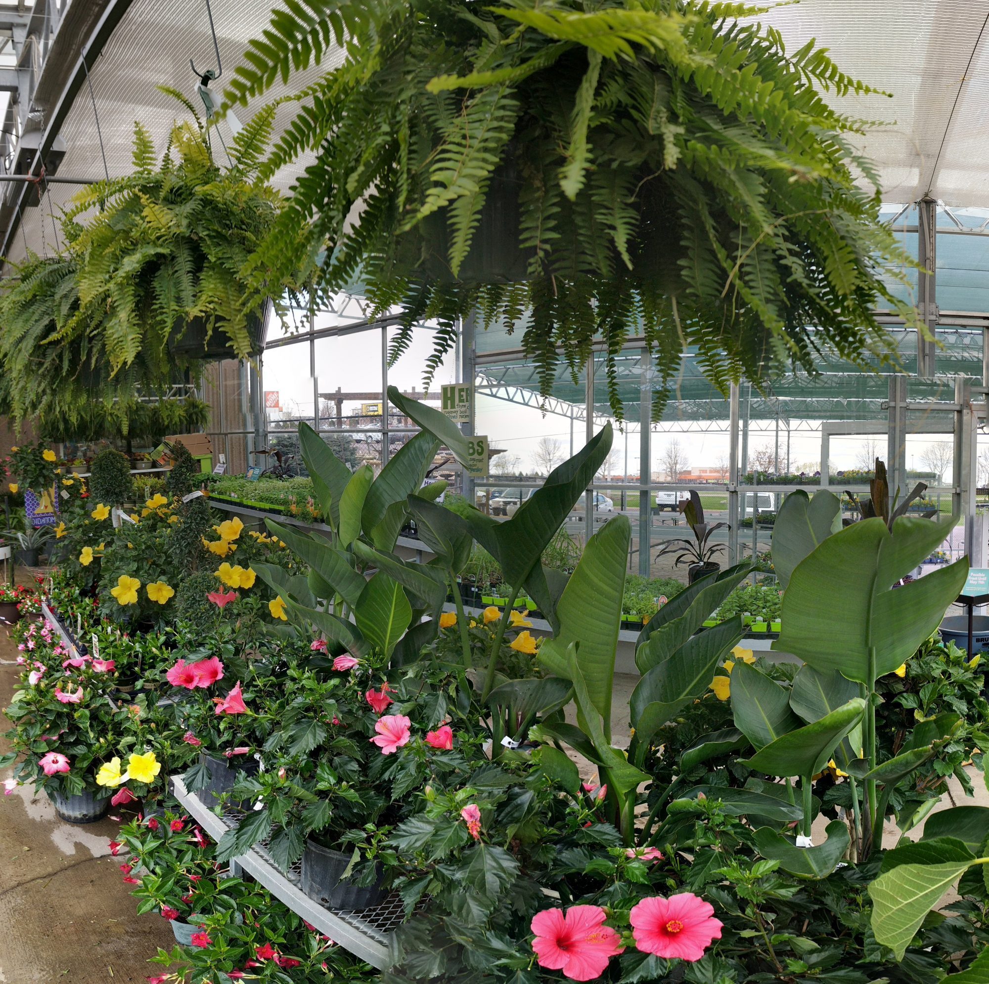 Ferns, hibiscus, and other tropicals in greenhouse