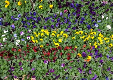 Overhead shot of Blooming Pansies- Early Spring