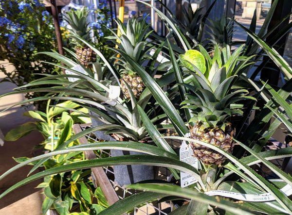 tropical pineapple plant