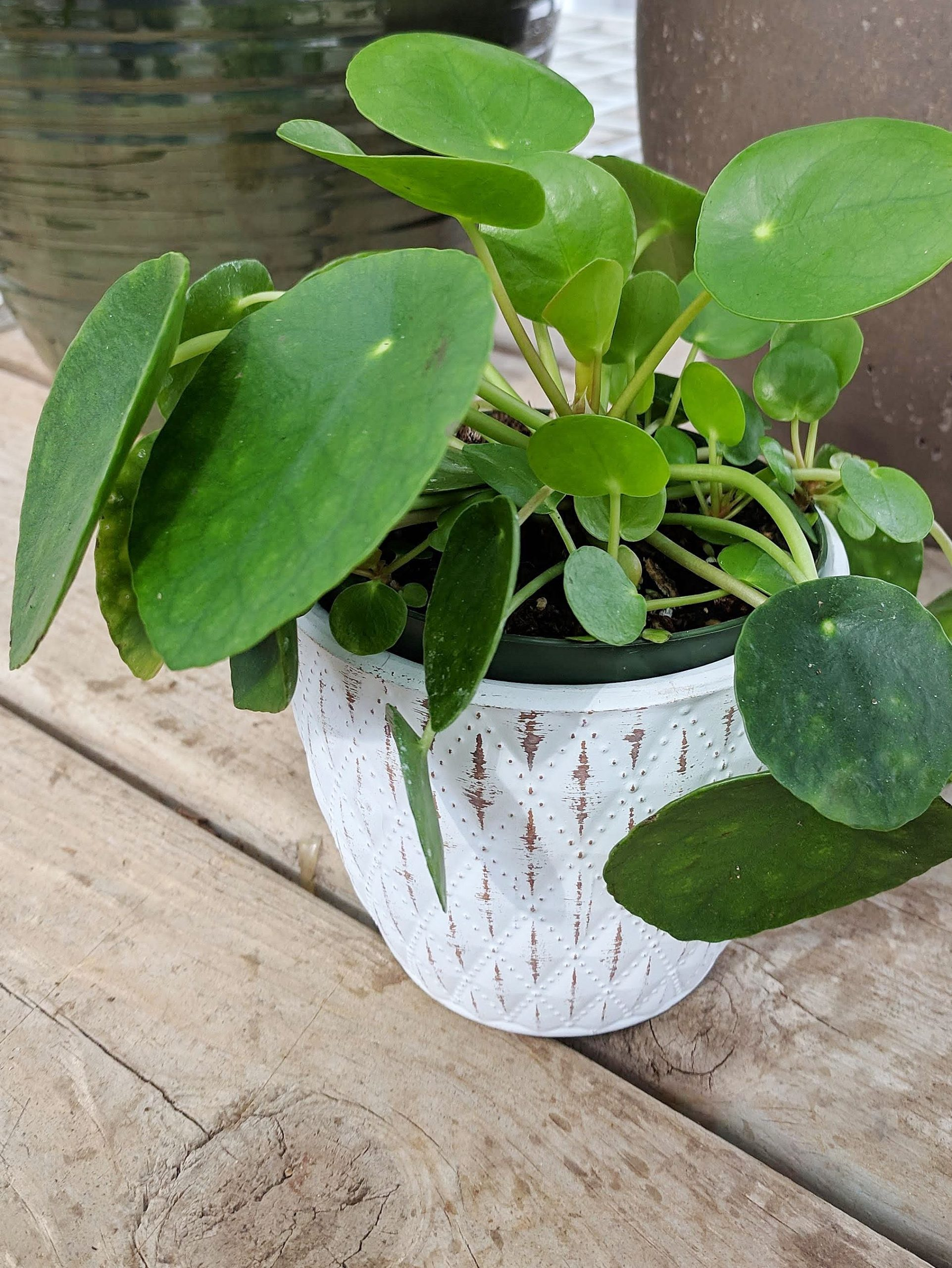 chinese money plant or known as pilea peperomia in distresse white pot