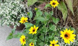 annual yellow sunbelievables and annual plant container
