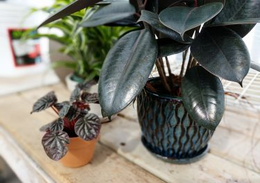 rubber plant and pepperomia caparata in ceramic pots in bright greenhouse