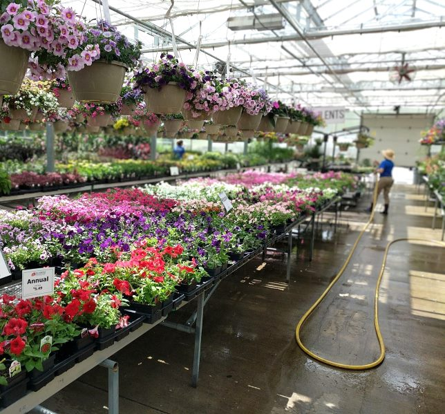 staff watering colorful annuals in greenhouse