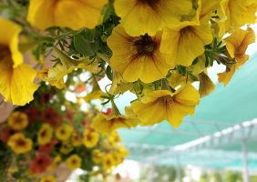 yellow petunias in handing baskets up close