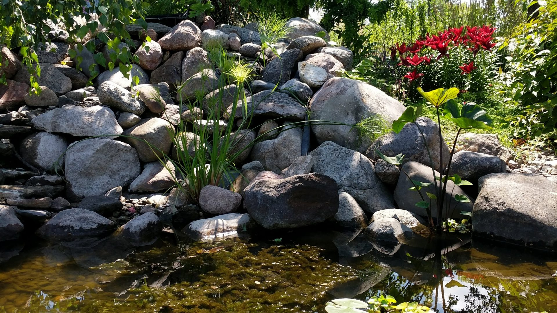 sunny day around pond with lily pads, water lettuce, lilies, and other beautiful pond plants