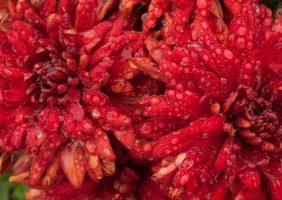 maroon pride red minnesota mum