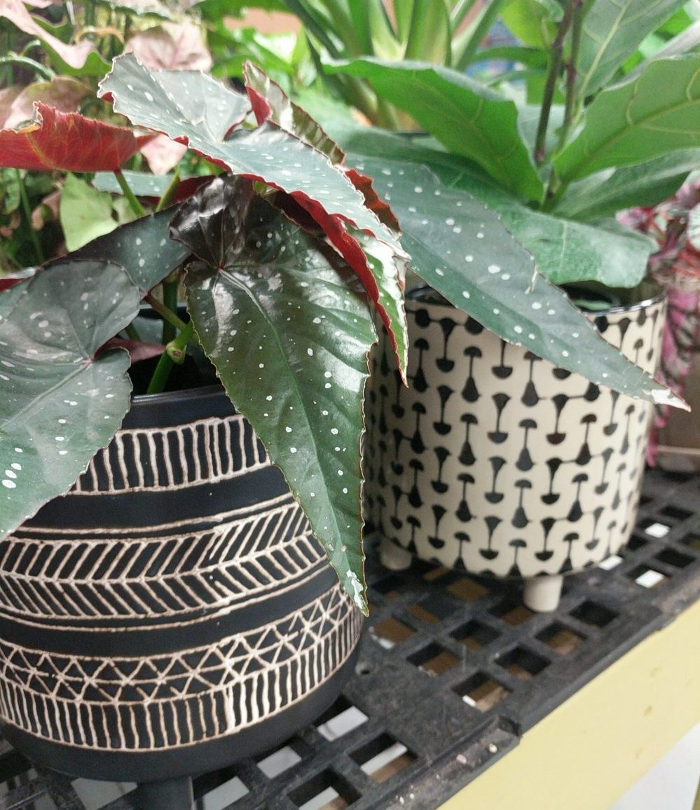 angel wing begonia houseplant in black and white geometric pattern pots with feet