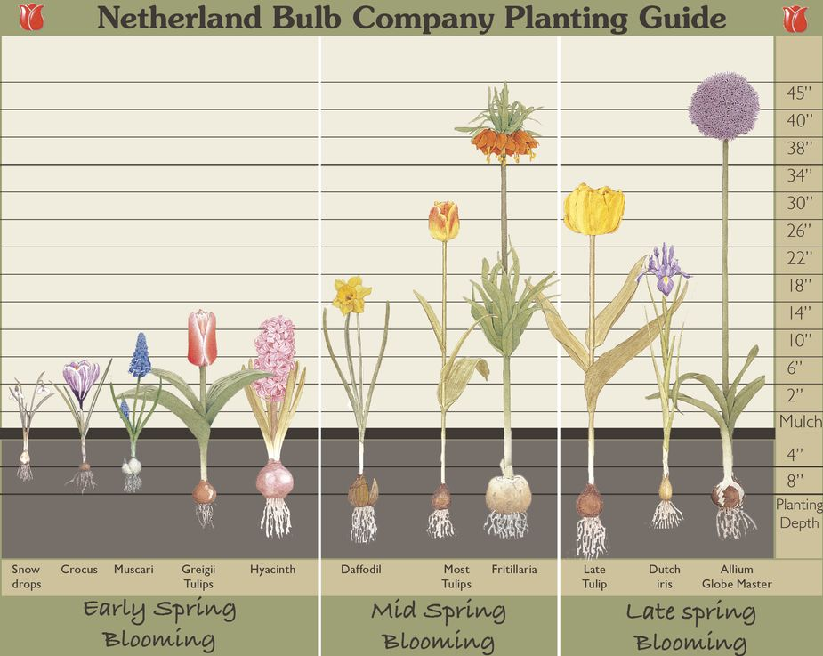fall bulb planting bloom times and depths