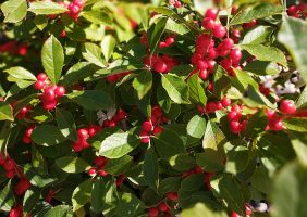 red sprite winterberry with red berries in fall