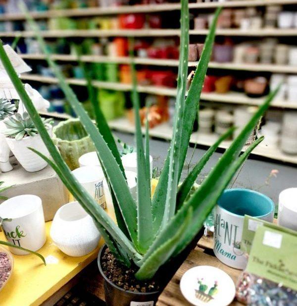 Aloe vera plant in Drummers
