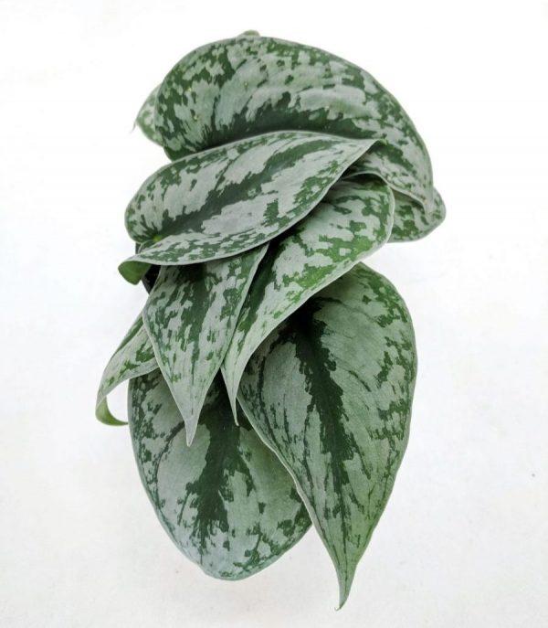 Satin pothos plant on white background