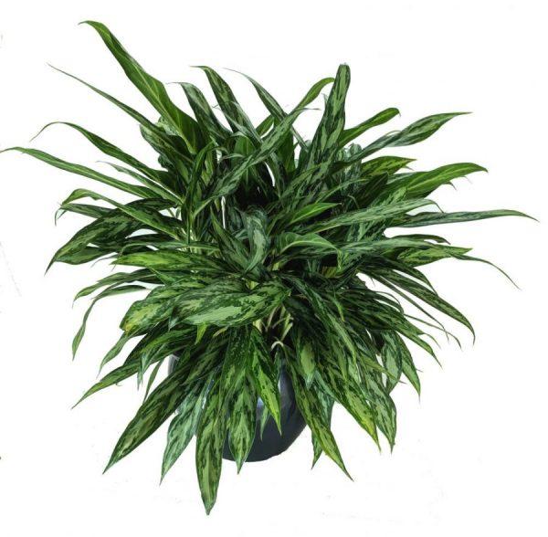 agleonema chinese evergreen