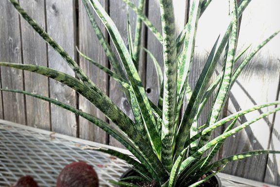sansevieria kirkki plant