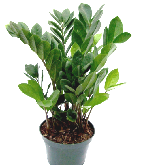 ZZ plant with white background