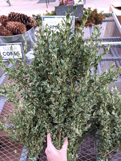 Variegated oregonia bundle for your evergreen containers.