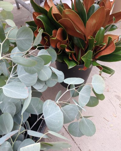 Eucalyptus and magnolia leaves to decorate spruce top pots and evergreen arrangements
