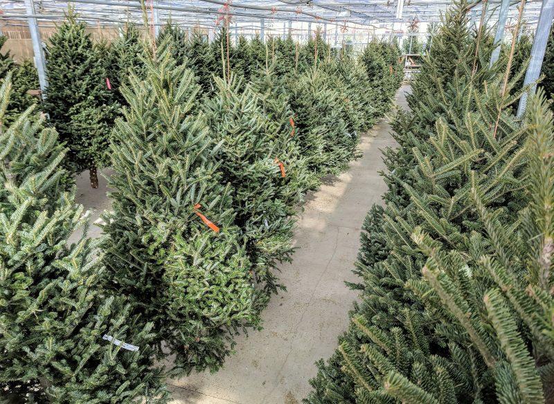 fraser fir, balsam fir, and white pine christmas trees