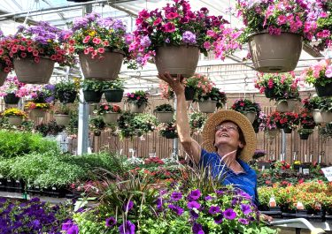 staff reaching up to grab annual flower basket hanging in greenhouse with sun shining