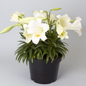 """easter lily 10"""""""