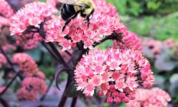 bumble bee pollinator on purple sedum pplant